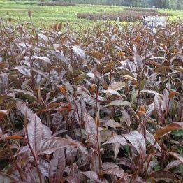 purple tea trfk306 boniface mwangi